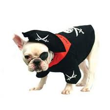 pirate frenchie