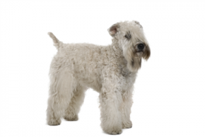 The-Soft-Coated-Wheaten-Terrier.lg